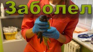 #1 Лучшая ветеринарная клиника АйбиВЕТ. Скорая помощь больным животным. Голубчик у врача-орнитолога