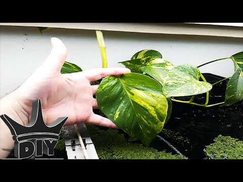 HOW TO: CHEAP And EASY Aquarium NITRATE Removal - Aquaponics TUTORIAL