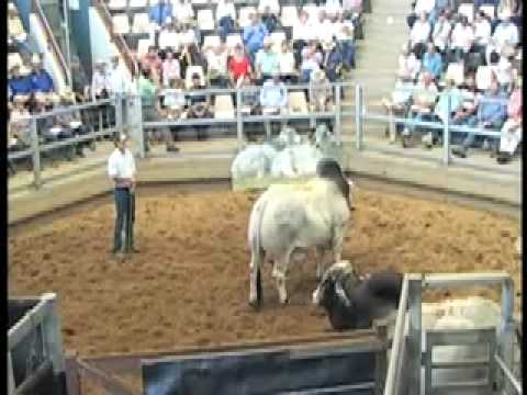 ROCKHAMPTON BRAHMAN WEEK 2009 LOT518