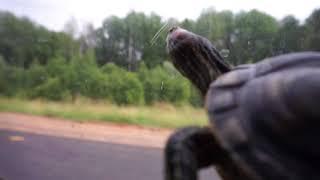 Черепаха набирает скорость