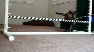 San Diego Cat Training - Sabrina Learns To Jump