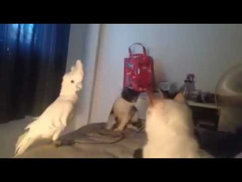Cockatoo Lectures Cats