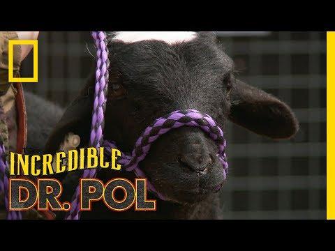 Bah, Bah, Bloated Sheep | The Incredible Dr. Pol