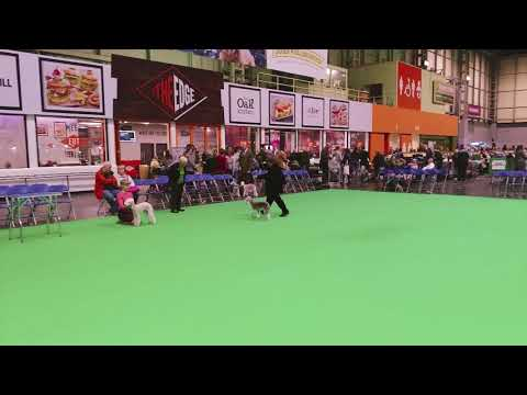 Crufts 2018 Bedlington Terrier Best Veteran