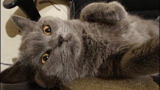 Котёнок Британский в ванной играет с каплями.