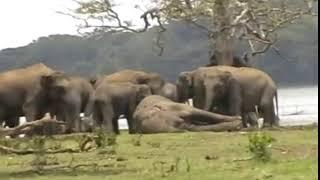 最後の別れを告げたい。亡くなった群れのリーダーを追悼するために集まってきた300頭ものゾウ(スリランカ)