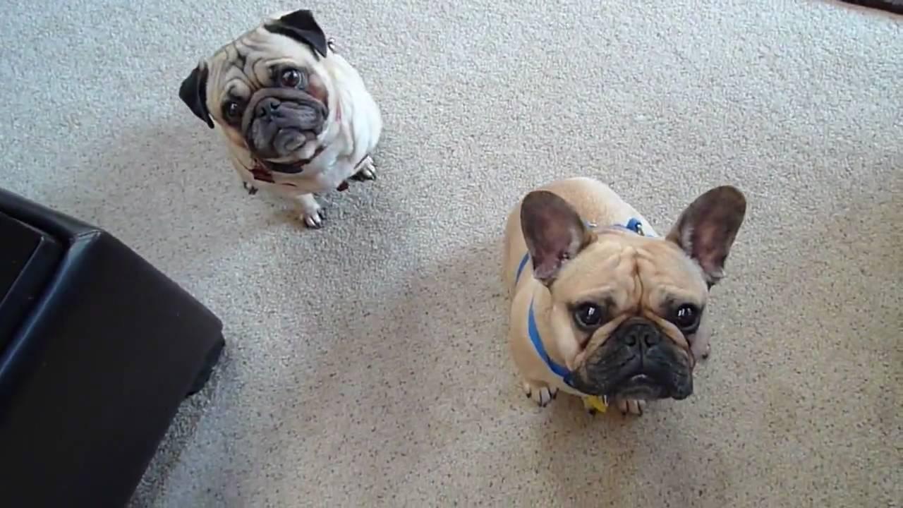 Pug And French Bulldog Youtube