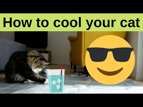 How to help cooling your cat! Siberian cats Playing & Drinking included!