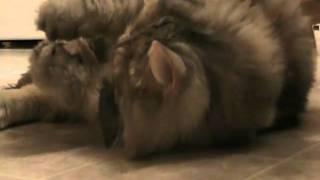 Silvia the Siberian Gets High on a Catnip Mouse