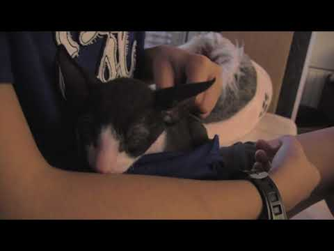 Cornish Rex kitten love to sleep in arms!!!
