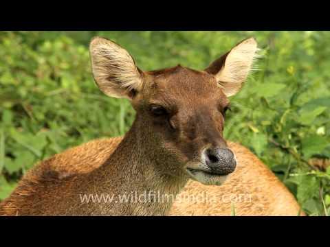 Sunda Sambar, native of East Timor