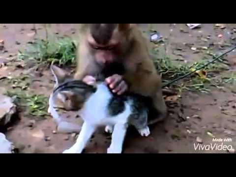 Macaco Cantando piolho no gato só no Ipu mesmo