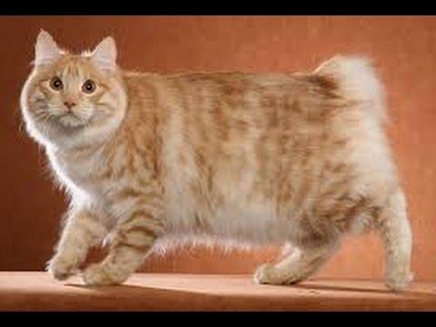 Japanese Bobtail Longhair cat