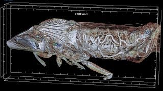 Micro CT study of the Anatomy  (Head) of the Glassy Winged Sharpshooter Homalodisca vitripennis