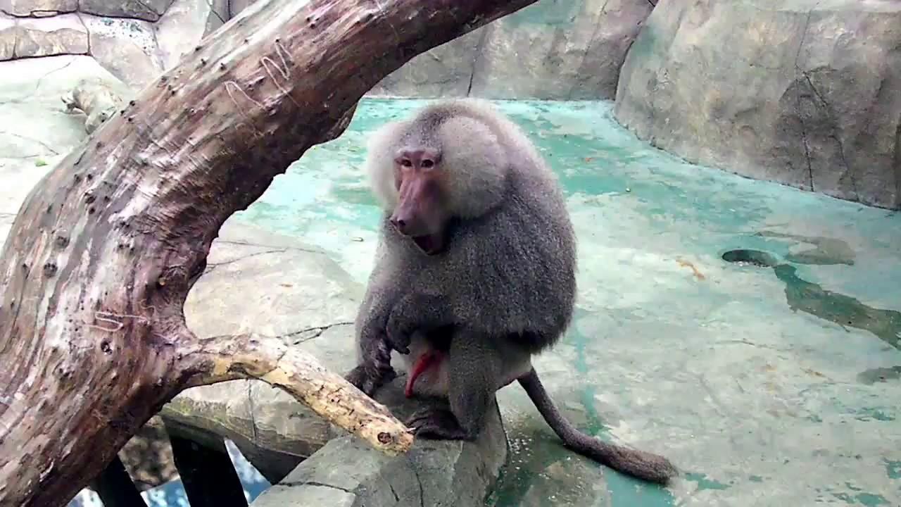 Писюн обезьяны