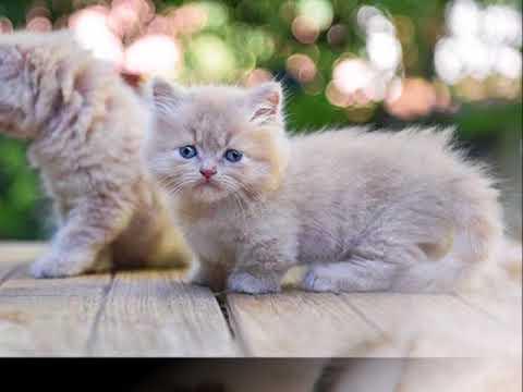miniature ragdoll cats