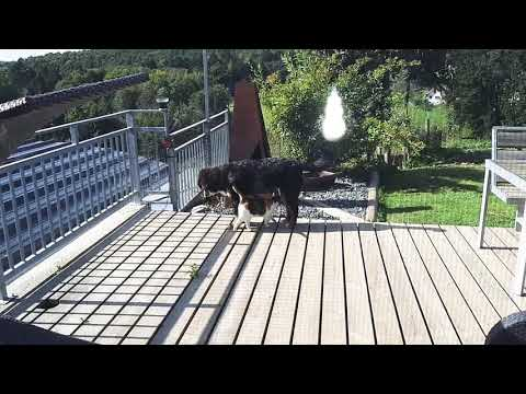 Bernese Mountain Dog vs. Cat (Gini vs. Minki)