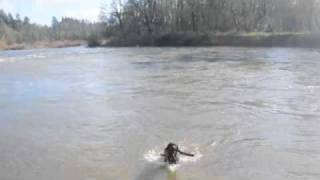 Large Black Lab Swims In The River