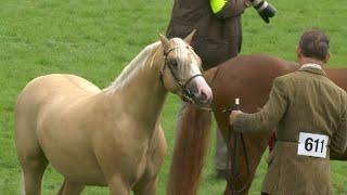 Merlod Cymreig Ebol 2 fl | Welsh Ponies Colt 2 yr
