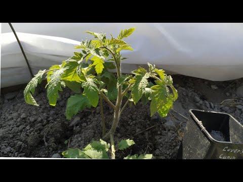 Томаты-2020 🍅Высадка рассады в открытый грунт.Мои ЗАМОРОЖЕННЫЕ томаты.