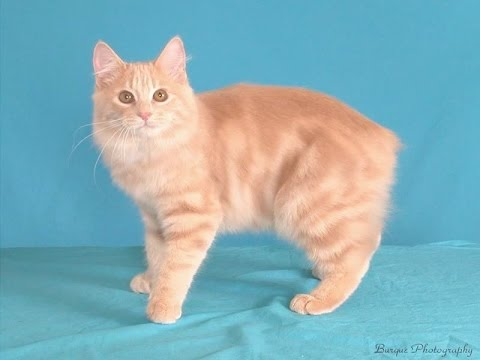 Manx Cat Breed | Manx Cat Breed Facts and Information