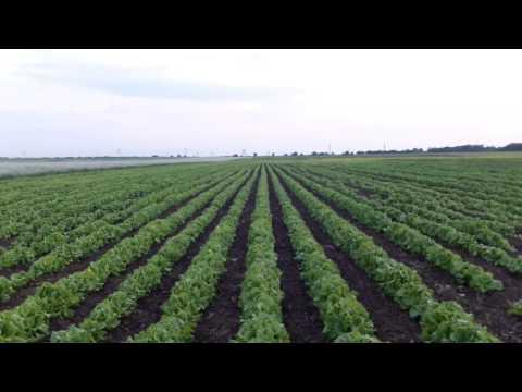 семена салата Одесский кучерявец 2017