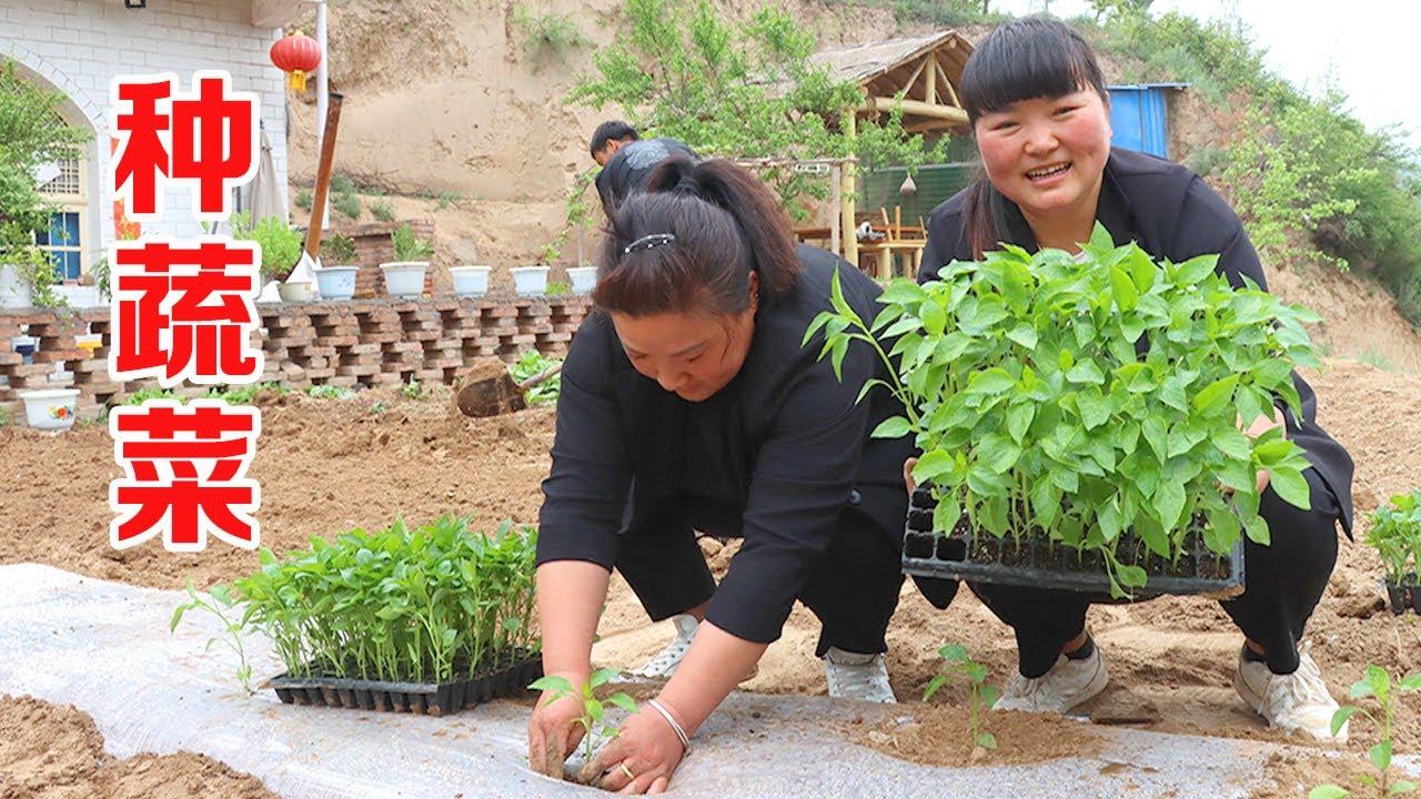 """【陕北霞姐】全家人帮忙种蔬菜,有辣椒和黄瓜,午餐做""""红烧羊拐筋""""解馋,麻辣味的猛香了!"""