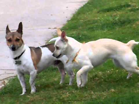Jack russel male and chihuahua jack russle female are having puppies youtube - Jack russel queue coupee ...