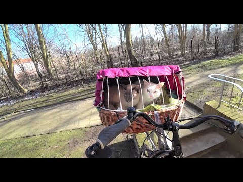 Tutorial: How to Train a Cat to go on Bike Rides (in a Bike Basket) + my 2 Siamese Cats