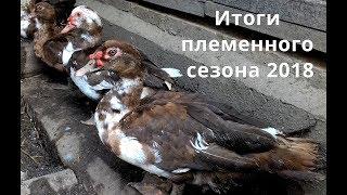 Мускусные утки. Итоги племенного сезона 2018.