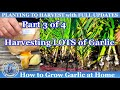 How to Grow Fall Garlic (Part 3 of 4) - The Harvest