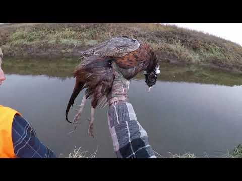 Pheasant Hunt 2019 Saskatchewan