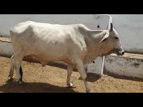 Repeat 3,4 Months Australian And Fresigen Cow Wachian For Sale For