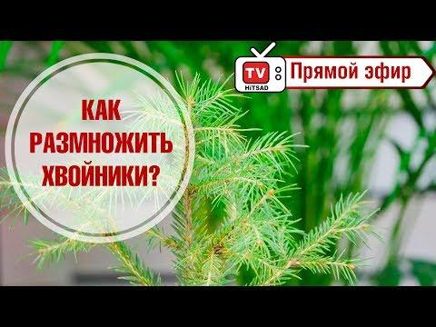 Бересклет европейский Ред Каскад (red cascade) 🌿 обзор: как .