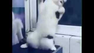 Угарное видео!Кошка танцует.