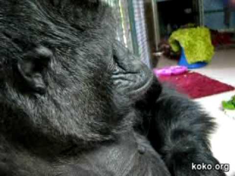 Koko's blow-kiss, fake-sneeze