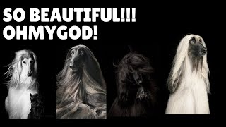 The most beautiful afghan hounds! (mesmerising!!)