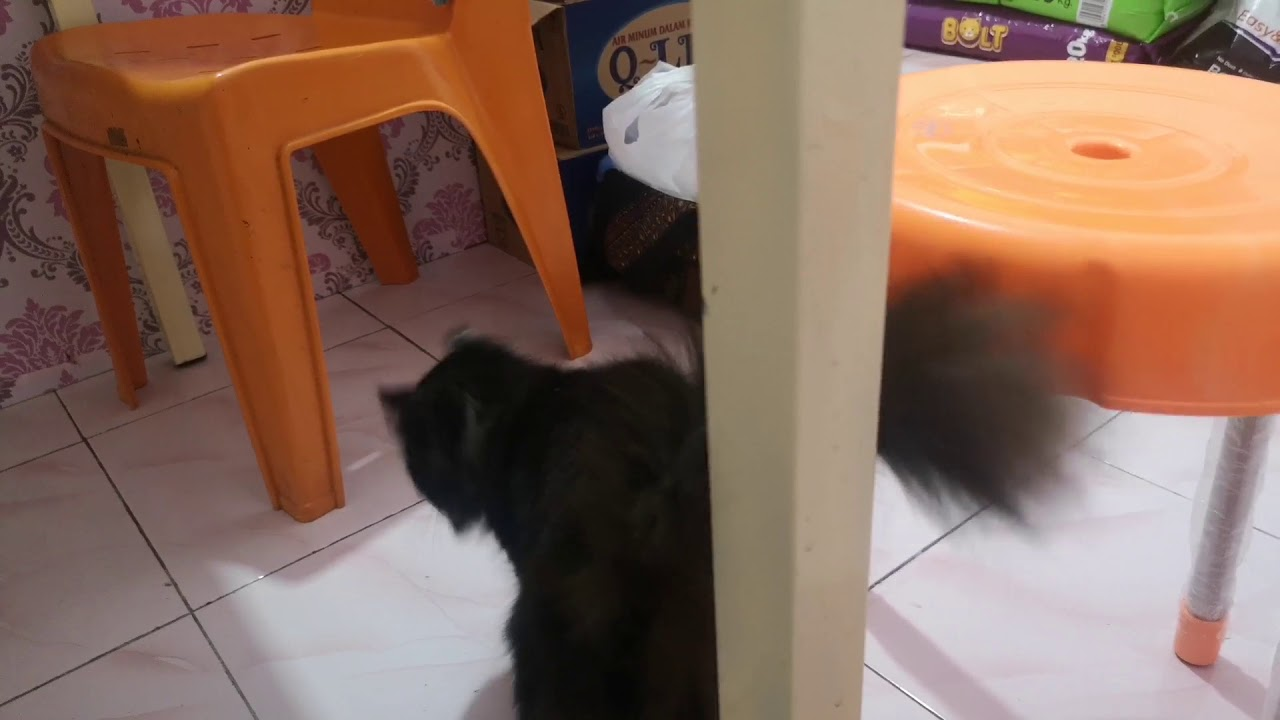 Kucing Lucu Hanum Pets Care