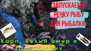 Запускаем в речку рыбу для рыбалки Карп Белый амур и Толстолобик