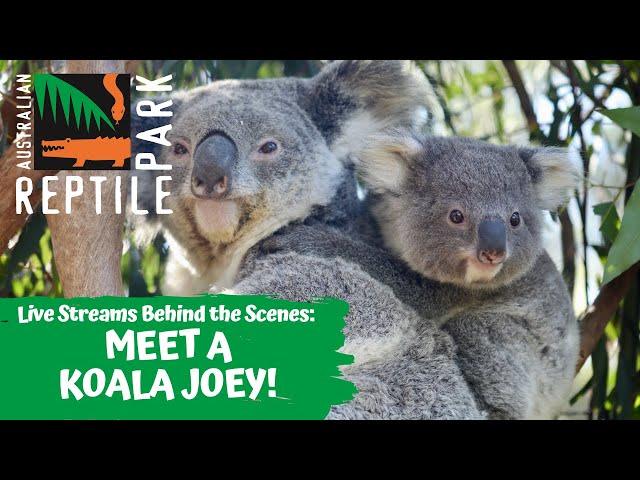 KOALA JOEY UP CLOSE (LIVE FOOTAGE) | AUSTRALIAN REPTILE PARK