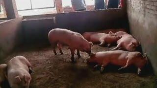 От чего умерли сотни собак и свиней в Китае? (новости)