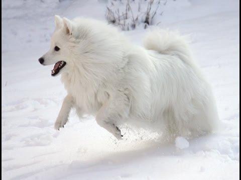 [ Video ] Profile : American Eskimo Dog | Dog Breed | American Eskimo