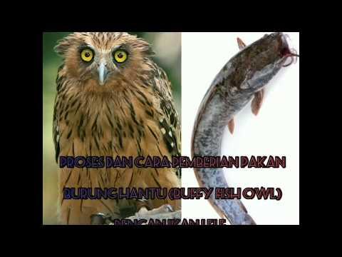 Kasih Makan Piaraan Kesayangan (BOBBY) Buffy Fish Owl BC / Anakan