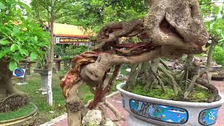 Những cây cảnh bonsai đẹp ở triển lãm /beautiful …
