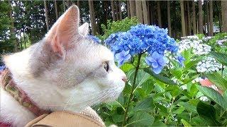 お散歩猫ネコ吉の紫陽花散策2018 thumbnail