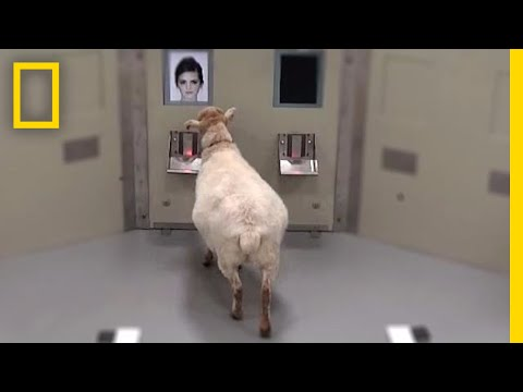Sheep Can Recognize Human Faces | National Geographic