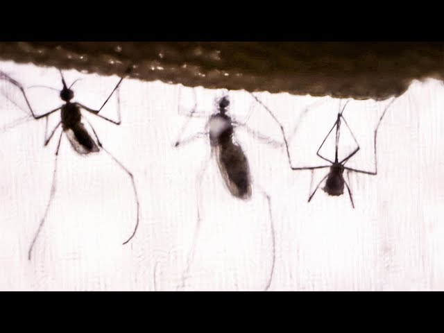The real reason why mosquitoes buzz | DIY Neuroscience, a TED series
