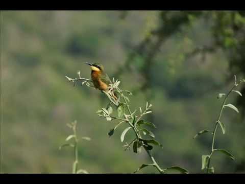 Africa (Tanzania) bird calls and photos