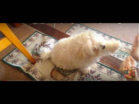 Jet The Crazy Cute Funny Dog Gives A High Five Trick [HD]