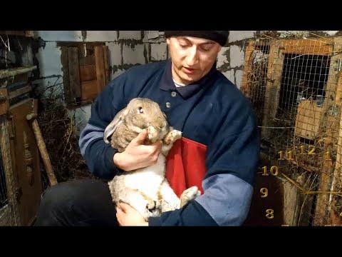 Вопрос: Какие породы кроликов нормальношерстные шкурковые?